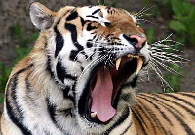 tired yawning tiger